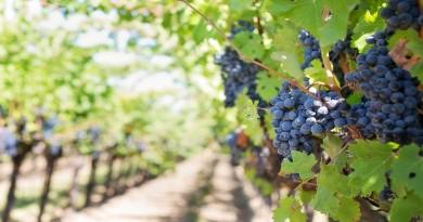 Actividades agrícolas na vinha