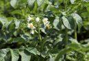 Actividades agrícolas em Maio - flor da planta da batata