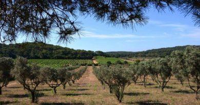 Actividades agrícolas nos olivais - oliveiras