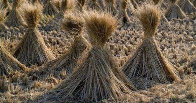 atividades agrícolas em julho - trigo ceifado