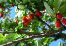 Actividades agrícolas e outras em Junho - cerejas