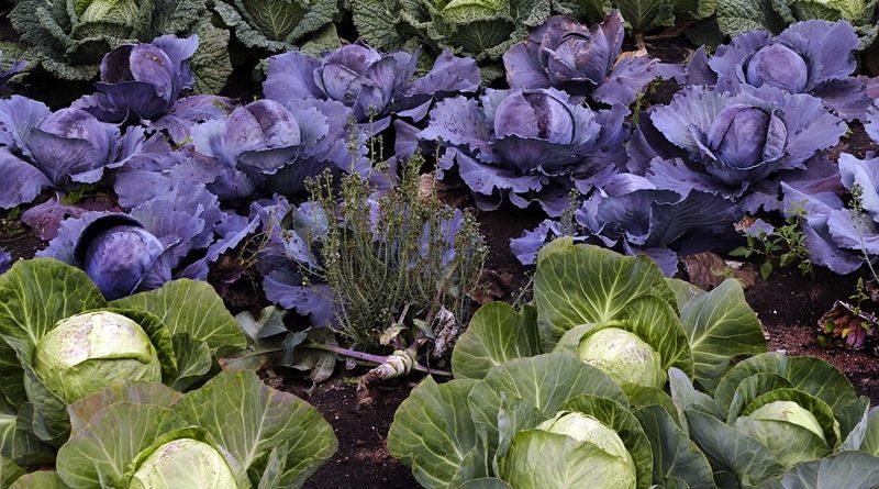 O que plantar na horta no mês de Outubro - Couves
