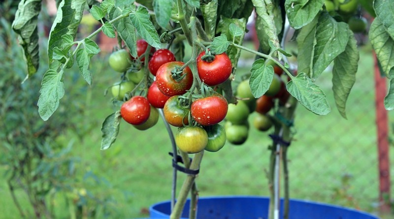 Guia para plantar aromáticas e legumes