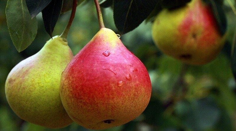 Peras - fruto com muito que se lhe diga!