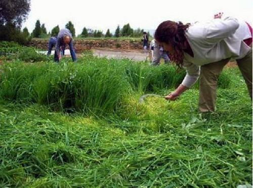 Fertilização do solo através da adubação verde