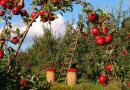 Maçãs apanhadas à mão   Agricultura biológica o que é? Conceitos gerais