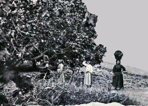 A apanha e indústria do figo em Torres Novas (1912)