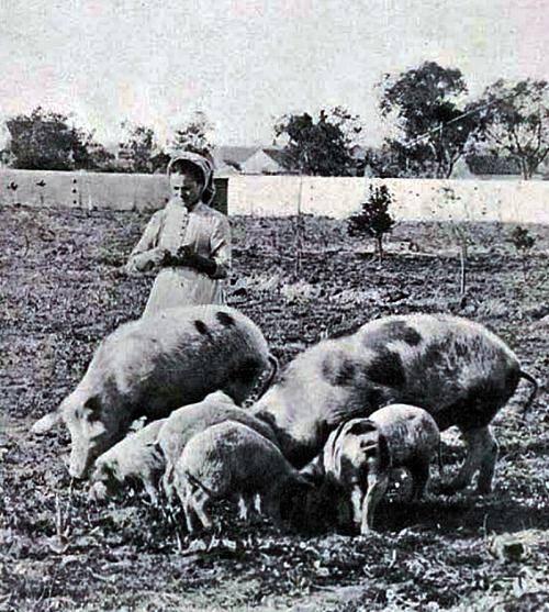 Uma das grandes vítimas do Natal – os porcos!