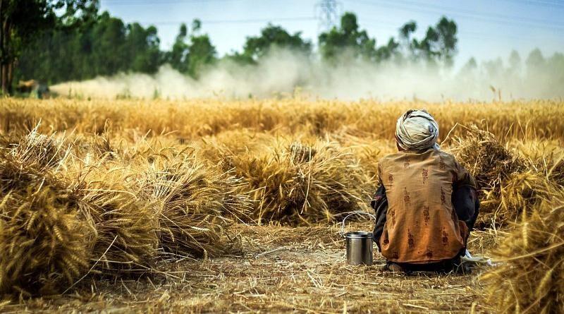 Trigo | Plantas úteis para o homem – uma síntese