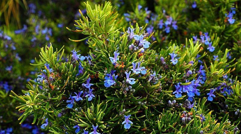 Alecrim ou alecrinzeiros - planta medicinal