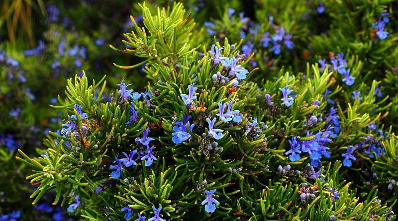 Alecrim ou Alecrinzeiro | Plantas medicinais