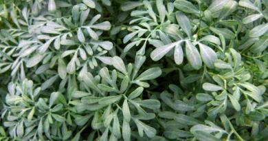 Arruda ou Ruda | Plantas medicinais