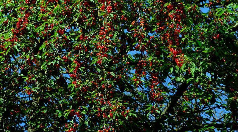 Cerejeira ou cerdeira