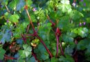 Erva-de-São-Roberto | Plantas medicinais