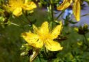 Hipericão-bravo ou Pericão   Plantas medicinais