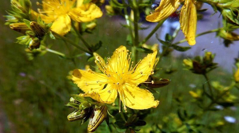 Hipericão-bravo ou Pericão | Plantas medicinais